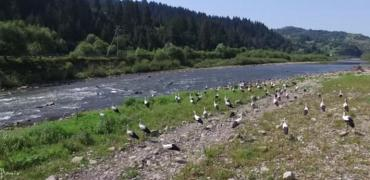 Сотня лелек оселилася на березі річки на закарпатській Міжгірщині.