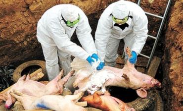 Свинська чума стрімко поширюється на всі райони Закарпаття