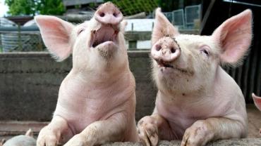 Захворілі на АЧС свині підлягають знищенню та спаленню.