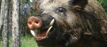 На Закарпатті відстрілюють диких кабанів з підозрою на АЧС