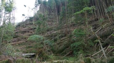 Буревій, що пронісся Рахівщиною, повалив 71,5 гектара лісу
