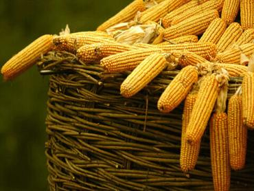 Діти в Закарпатті зростають на кукурудзяній каші.