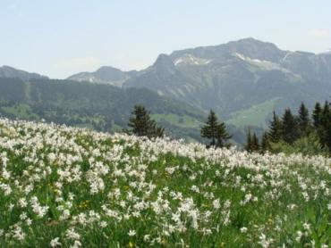 В Закарпатье пик цветения Долины нарциссов начнется с 9 мая