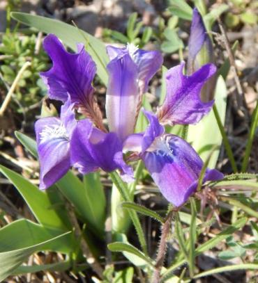Ирис, или Касатик (лат. Íris) — род многолетних корневищных растений