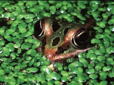 Жители Закарпатья зарабатывают на лягушках
