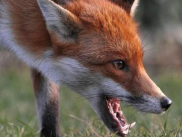 В Закарпатье началась вакцинация диких животных против бешенства