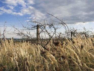 За 3 года на Закарпатье вырубили более половины винограда