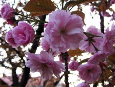 Всего в областном центре Закарпатья растут несколько сотен деревьев сакуры