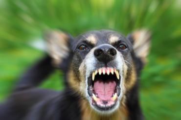 Собака контактировала с лисой