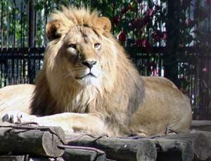 На Франковщине лев оттяпал посетителю руку