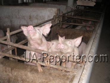 Закарпатський племінний завод вирощує найкращих свиней