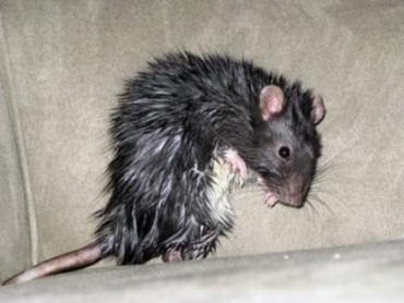 Киеву грозит нашествие чернобыльских крыс!