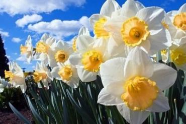 Бум цветения в Долине нарциссов