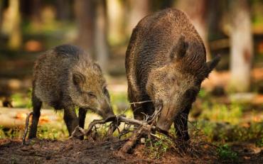 Переплутали: на Житомирщині мисливці прийняли жінку за кабана