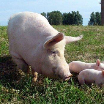 Мукачівщина відвойовує позиції у галузі тваринництва