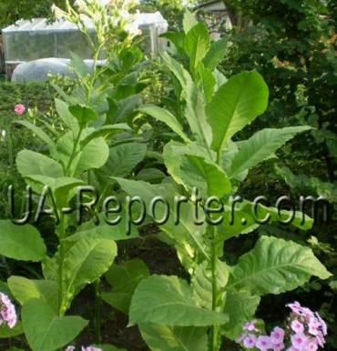 На Иршавщине выращивают растение-синоптик