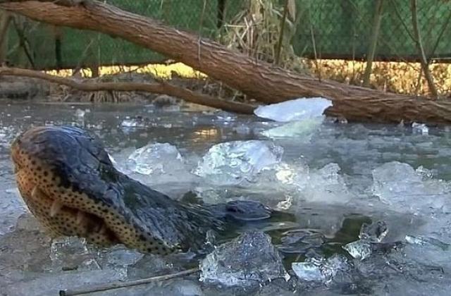 У США в парку алігатори вмерзли в лід. ВІДЕО