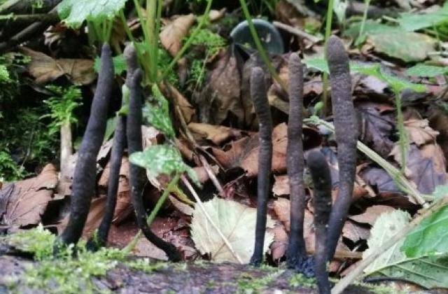 """Фото 2 - На Рахівщині знайшли рідкісні гриби - """"пальці мерця"""""""