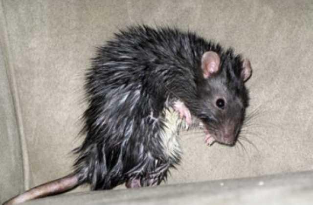 Картинки по запросу Чернобыльские крысы фото
