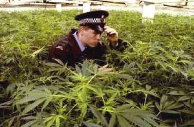Конопля милиция марихуана крым
