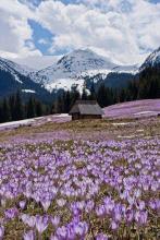 Карпаты первоцветы